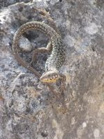 Coiled Up Lizard by Maltese-Naturalist