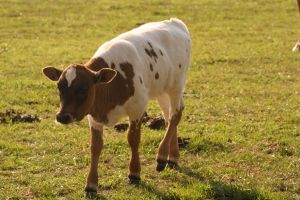 Cow 2 by FrankiesStockPhotos
