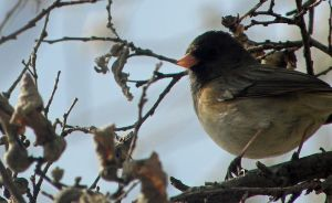Junco by dareiqsan