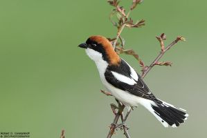 Lanius senator - Woodchat Shrike by RichardConstantinoff