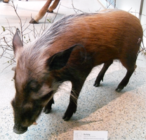 Bushpig  Red River Hog stock by Rhabwar-Troll-stock