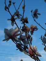 Magnolia 15 by botanystock