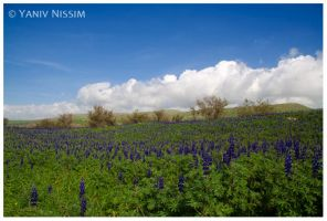 Lupins by ynissim