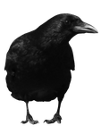 crow 11 by peroni68