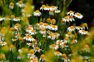 K's Daisies by JYB-Photography