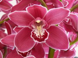 Cymbidium2 by Otoff
