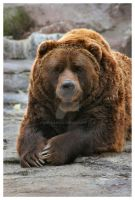 Portrait...OF A BEAR... by Angellikah