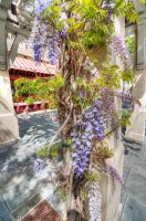 Wisteria in bloom by PaulWeber