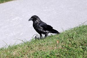 crow by Silent-Utopia
