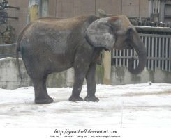 Zoo - Elephant by Gwathiell