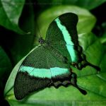 Emerald Swallowtail 3568 by Sooper-Deviant