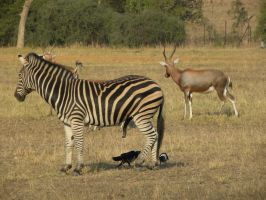 Zebra, deer and birds by RiverKpocc