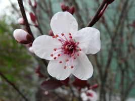 Purple Leaf Plum flower by duggiehoo