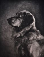 Bailey - Golden Retriever by nikkiburr