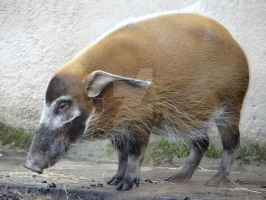 Red river hog by Blondefishy