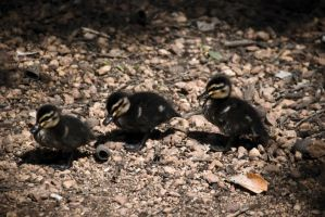 Duckies by alvse