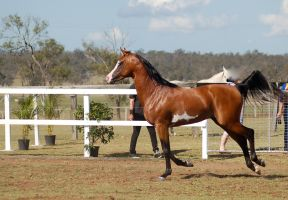 GE arab pinto canter side view eye close by Chunga-Stock