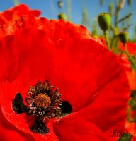 Field Poppies Close-Up by Maltese-Naturalist