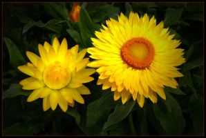 3 STRAW FLOWERS by THOM-B-FOTO