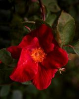 a red rose by AdrianSadlier