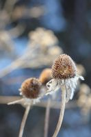 Frosted coneflower 2 by greyrowan
