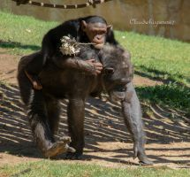 Lisbon Zoo - Playful Chimpanzees by Cloudwhisperer67