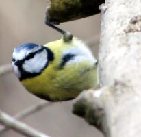 Can you see me!! Cool tit by karliosi