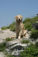 Golden Retriever - Meine Diva by archaeopteryx-stocks