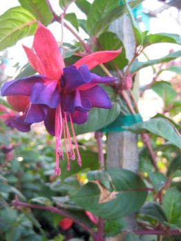 Fuschia by blushing