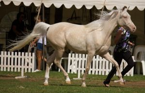 STOCK - TotR Arabians 2013-55 by fillyrox