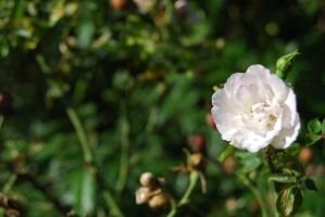 Rose from London by Wekuster
