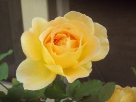 Orange Rose by AngelSaphireBlue