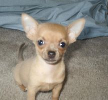 Chihuahua puppy by tangled-blonde