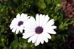 Two White Flowers by azieser
