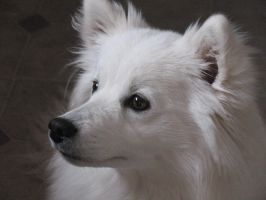 American Eskimo Love by crytillyourdry