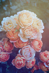 Pastel roses by fantazyme