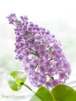 Lilac Syringa v.2 - Plymer Clay Flowers by SaisonRomantique