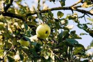 apple in the tree by archaeopteryx-stocks