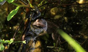 Brown Frog by laracoa