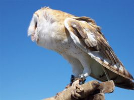 Barn owl against blue by RevaDiehard