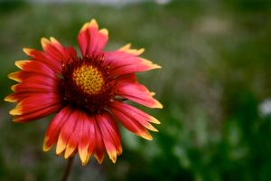 Sultry Sunflower by kyndall0709