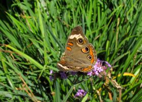Common Buckeye #3 by JED1948