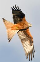 I got my eye on you - - red kite by Jamie-MacArthur