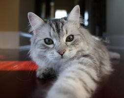 Siberian Cat, Sasha no. 2 by Mischi3vo