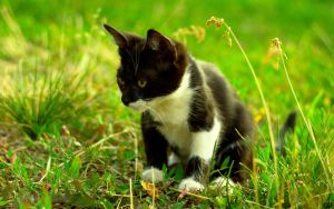 Black and white cat by RSA91