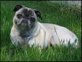 Puzzled Pug by RandyHand