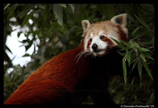 Hungry Red Panda III by TVD-Photography