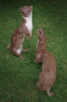 Least Weasels by fossilizedmouse