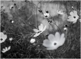 BW lat summer flowers by inacom