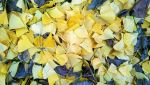 Autumn Yellow Ginkgo Leaves Stock by Foxytocin